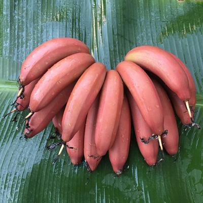 这是一张关于红香蕉 七成熟 40 - 50斤的产品图片