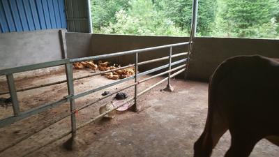 这是一张关于土鸡 公 2-3斤的产品图片