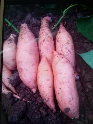 这是一张关于龙薯九号 黄皮 3两~6两的产品图片