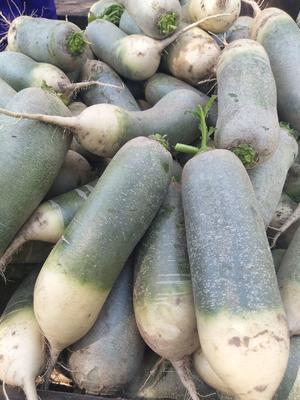 吉林省白城市大安市青皮萝卜 1~1.5斤