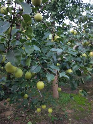 这是一张关于砀山酥梨 250-300g 80mm以上的产品图片