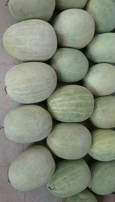 山西省运城市万荣县三白瓜 有籽 1茬 9成熟 10斤打底