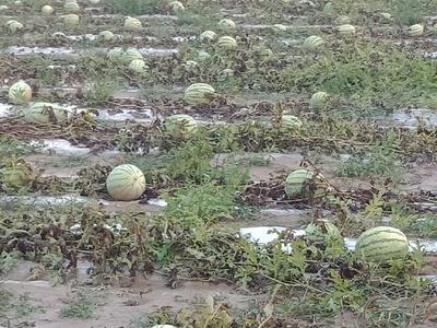 甘肃省庆阳市西峰区金城一号 有籽 1茬 9成熟 7斤打底