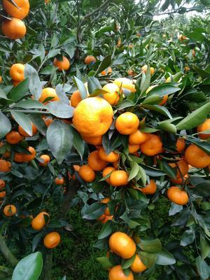 陕西省汉中市城固县城固蜜橘 7.5 - 8cm 4两以上