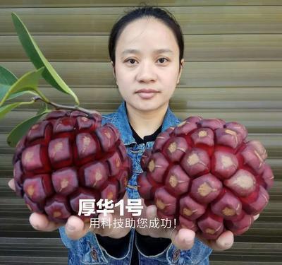 粉红黑老虎苗 【厚华1号】紫红巨果优质品种。