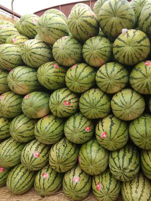 宁夏回族自治区中卫市沙坡头区宁夏西瓜 有籽 1茬 9成熟 10斤打底