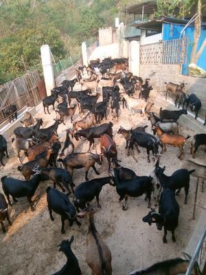 这是一张关于黑羊 30-50斤的产品图片