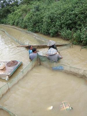 广西壮族自治区南宁市西乡塘区大口鲶鱼 人工养殖 1.5-2.5公斤