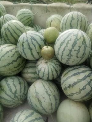 浙江省绍兴市上虞区大鹏西瓜 有籽 2茬以上 8成熟 5斤打底