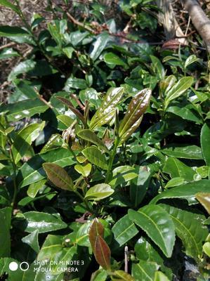 这是一张关于恩施富硒绿茶 袋装 一级的产品图片