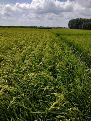 黑龙江省哈尔滨市阿城区 稻花香大米 非有机大米 晚稻 一等品