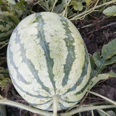 安徽省阜阳市颍泉区西农8号西瓜 有籽 1茬 8成熟 7斤打底