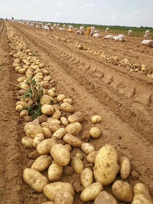 陕西省榆林市榆阳区荷兰15号土豆 3两以上
