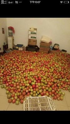 山西省长治市壶关县大红西红柿 不打冷 大红 弧二以上