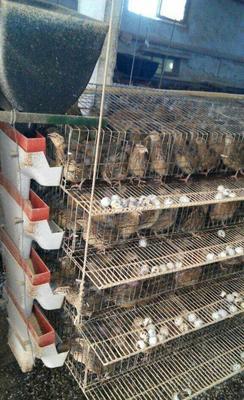 广西壮族自治区来宾市兴宾区土鹌鹑