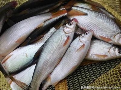 这是一张关于黄尾鲴鱼苗的产品图片
