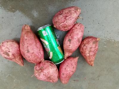 山东省济宁市嘉祥县西瓜红红薯 红皮 6两~1斤