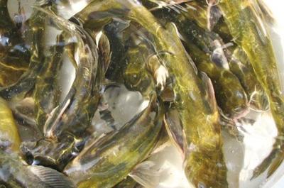 湖南省常德市津市市池塘黄颡鱼 人工殖养 0.1公斤