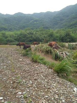 江西省上饶市鄱阳县黄牛 600-800斤 公牛
