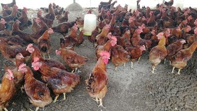 这是一张关于B380鸡 公 5-6斤的产品图片