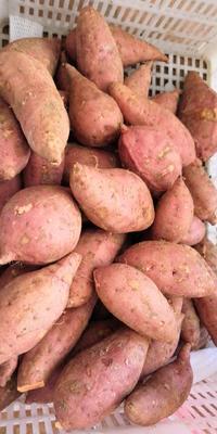 福建省漳州市漳浦县六鳌地瓜 红皮 1.5斤以上