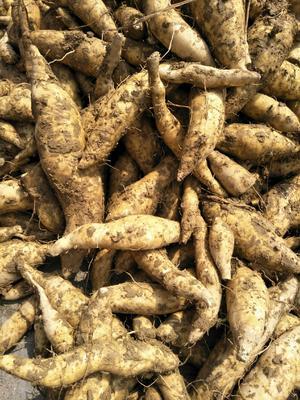 这是一张关于黄金红薯 白皮 3两~6两的产品图片