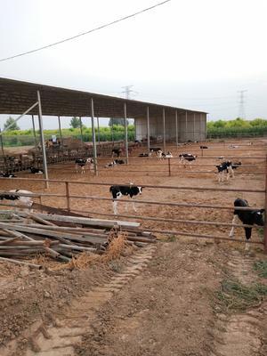 陕西省咸阳市泾阳县黑白花牛犊 200斤以下 公牛