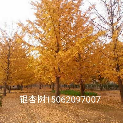 江苏省徐州市邳州市银杏实生树