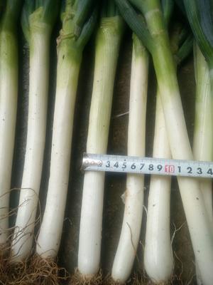 贵州省安顺市西秀区铁杆大葱 3cm左右 25~30cm 毛葱
