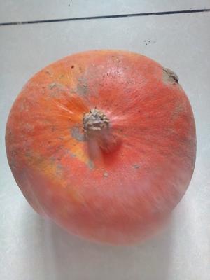山东省德州市陵城区金瓜 2~4斤 扁圆形