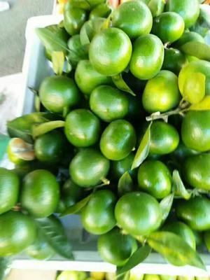 广西壮族自治区崇左市龙州县温州蜜桔 4.5 - 5cm 3两以上