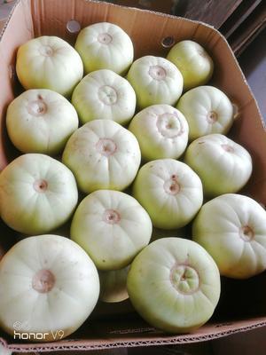 上海崇明县蜜宝王甜瓜 0.5斤以上