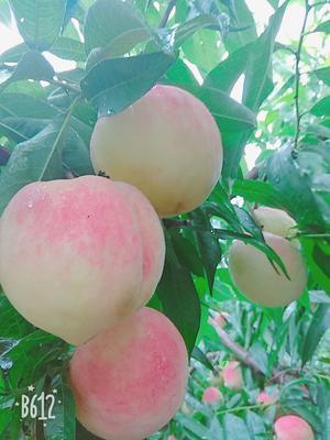 山东省德州市夏津县水蜜桃 70mm以上 4两以上