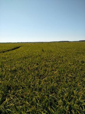 黑龙江省齐齐哈尔市泰来县东北大米 非有机大米 晚稻 一等品