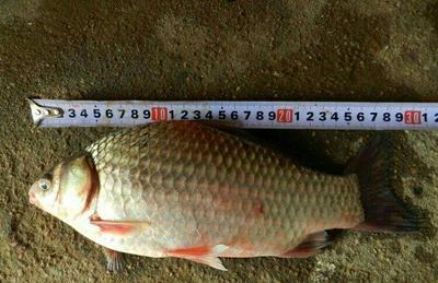 这是一张关于中科三号鲫鱼 人工养殖 0.25-1龙8国际官网官方网站的产品图片