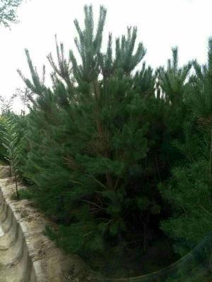 这是一张关于樟子松 2.5~3米的产品图片
