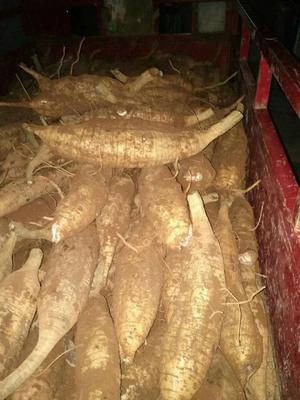 广西壮族自治区桂林市临桂县人工种植葛根 2.0-2.5斤