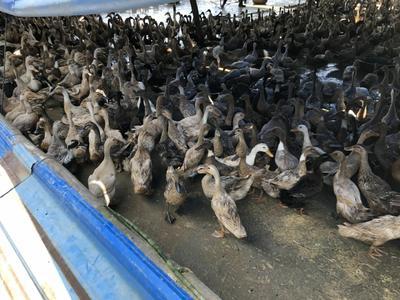 这是一张关于淘汰鸭 母 半圈养半散养 2-3斤的产品图片