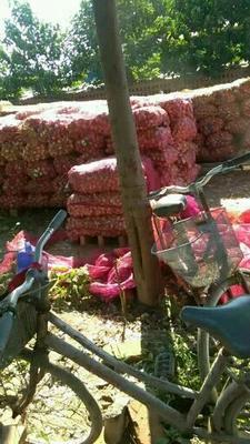河北省邯郸市大名县大蒜种子