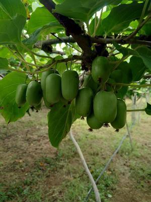 这是一张关于软枣猕猴桃 50克以下的产品图片