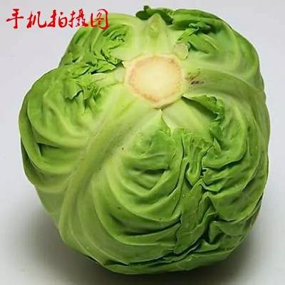 新疆维吾尔自治区喀什地区喀什市莲花白包菜 6斤以上