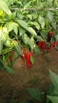 内蒙古自治区赤峰市巴林左旗北京红辣椒 15~20cm 红色 甜辣
