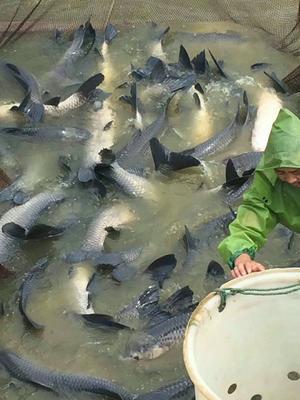 江苏省宿迁市泗阳县淡水青鱼 人工养殖 10-18公斤