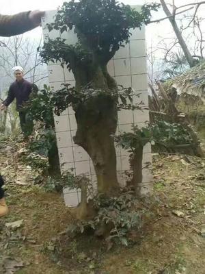 广东省广州市番禺区金弹子 35公分以上