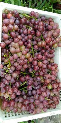 河南省洛阳市偃师市巨峰葡萄 5%以下 1次果 0.8-1斤