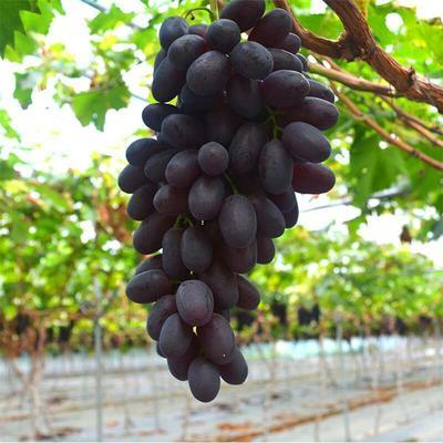 安徽省淮南市潘集区无核紫葡萄 5%以下 1次果 0.6-0.8斤