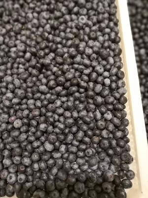 辽宁省大连市沙河口区蓝丰蓝莓 鲜果 12 - 14mm以上