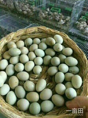 河南省商丘市永城市芦丁蛋 孵化 箱装