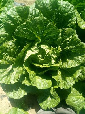 内蒙古自治区锡林郭勒盟多伦县玲珑黄白菜 6~10斤 毛菜