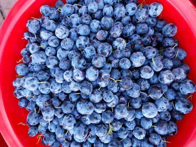 黑龙江省大兴安岭地区呼玛县野生蓝莓 鲜果 4 - 6mm以上